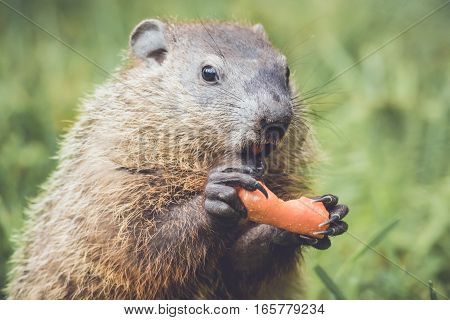Funny and cute little Marmot (Marmota Monax) holding a half-eaten carrot