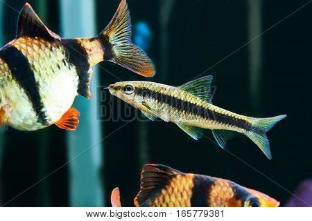 Aquarium Fishes - Barbus Puntius Tetrazona And Siamese Algae