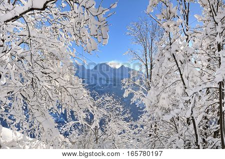 mountain across snowy branches of trees on blue sky