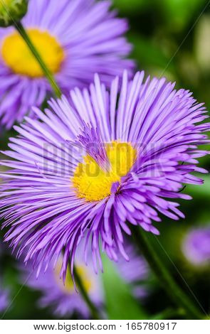 Flower violet asters with fountain of the petals in the core
