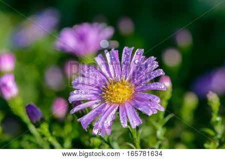 Violet aster bud covered with drops of morning dew