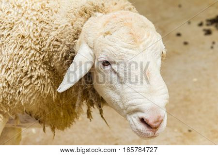 Sheep farm animal for wool and meat closeup head portrait