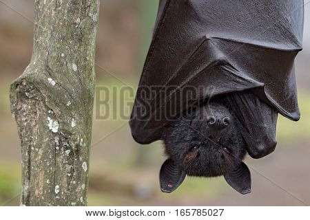 Flying Fox Close Up Portrait Detail View