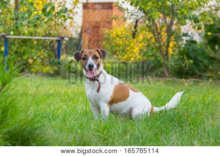 Dog Breed Jack Russell Terrier On The Lawn