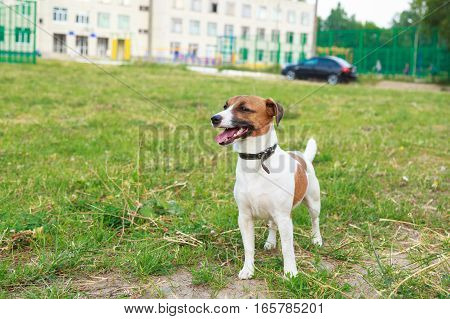 Dog breed Jack Russell Terrier standing on the lawn