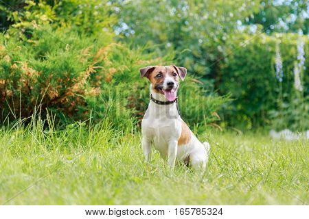 Dog Breed Jack Russell Terrier Sitting