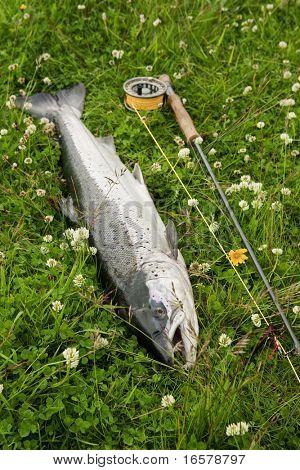 Large atlantic salmon on the river bank