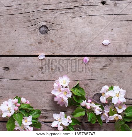 Spring border - apple tree flowers on aged wooden background. Selective focus. Place for text. Top view. Flat lay. Square image.