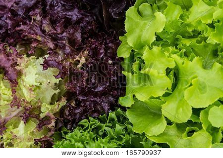 Salad leaves with Green Oak, Red Leaf Lettuce, Frillice Iceberg and Red Romaine as a background. isolated on white