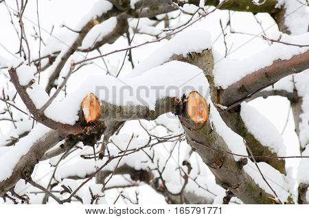 Fresh Pruned Apple Branch In Winter