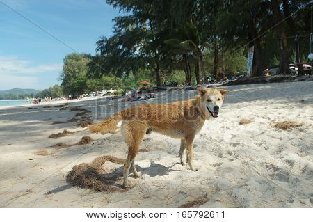 street dog on the beach in Thailand homeless and miserable