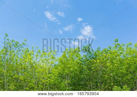 Rubber Tree Background With Blue Sky