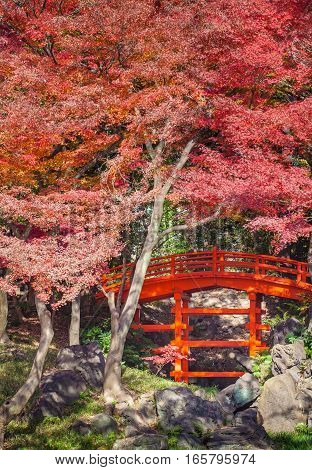Japanese red bridge and red meple tree in autumn season at Japanese garden