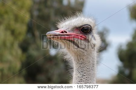Ostrich Head Close-up At Ostrich Farm. Israel