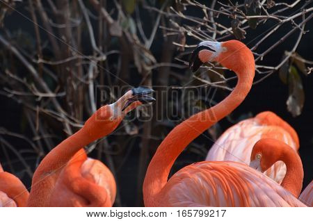Couple of squabbling American flamingo birds playing.