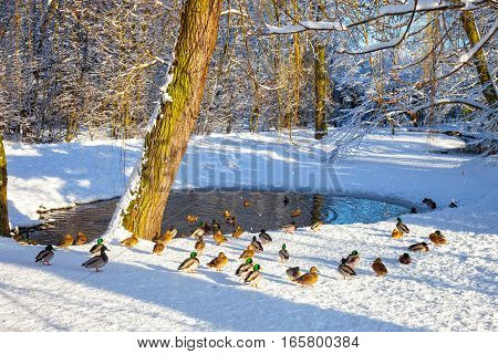 Ducks on the shore of the pond.