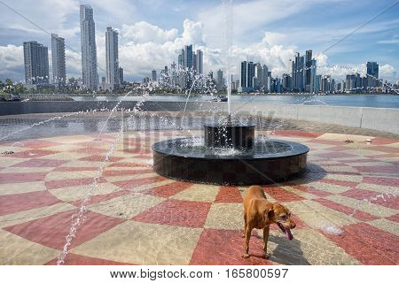 June 15, 2016 Panama City, Panama: dog standing in the water fountain in the scorching heat of the midday sun with high-rises visible in the background
