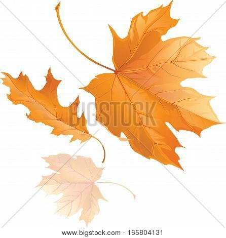 Three falling yellow autumn maple leaves fly in the wind isolated on white background vector illustration. Autumn picture.