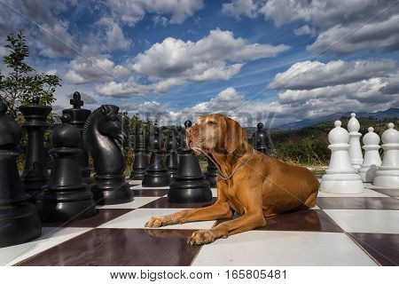 golden vizsla dog laying on a chess board outdoors