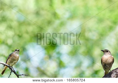 Natural background with two birds, the females of the Redstart, plenty of space for text. Selective focus.