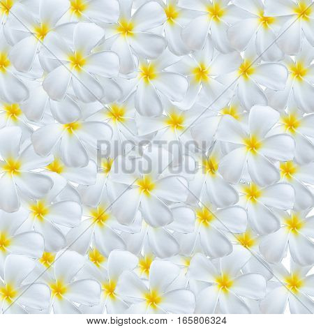 white and yellow plumeria flowers nature background