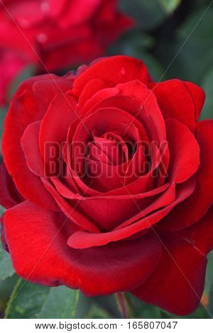 Close up of beautiful single red rose
