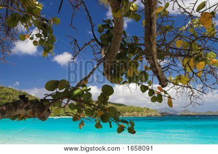 Seagrape Tree