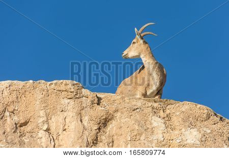 Nubian Ibex Goat Ramon Crater In Israel