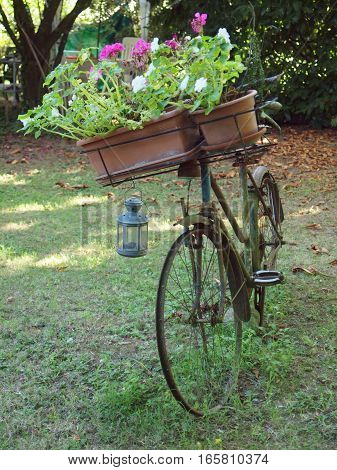 Old bike in a garden with pots of geraniums
