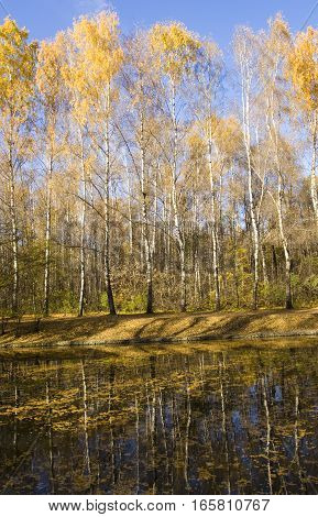 Autumn landscape with yellow birch tree on bank of pond recorded on Putyaevskye lakes in park Sokolniki Moscow.