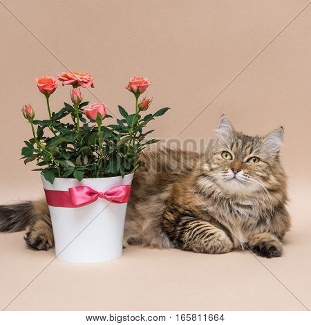 beautiful long-haired cat with a roses in pot on a beige background