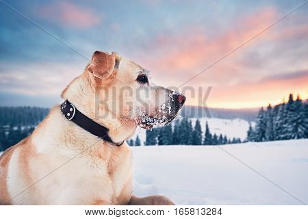 Dog in mountains in winter. Yellow labrador retriever lying in snow during beautiful sunset.