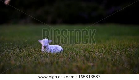 Little sheep on the green grass look at you