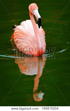 Pink flamingo gliding on the green water