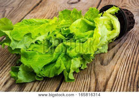 Fresh lettuce, grown in a pt. Studio Photo