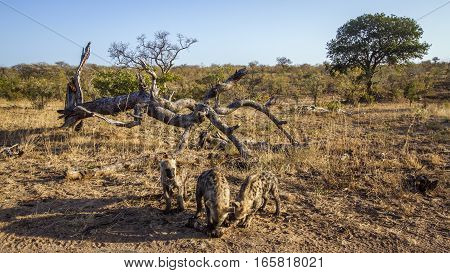 Spotted hyaena in Kruger national park, South Africa ; Specie Crocuta crocuta family of Hyaenidae