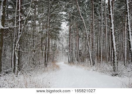 Empty footpath in a snow covered forest of pine trees