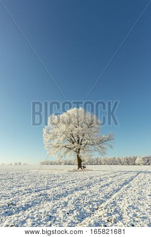 Single One Tree Covered By Heavy Frost