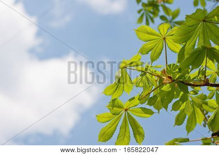 Chestnut branch with lush green young leafs on cloudy sky background. Springtime