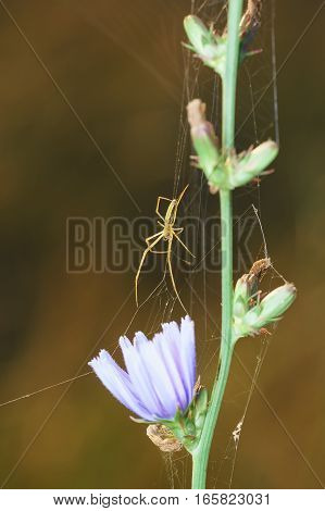 Graceful spider (lat. Araneae) have woven a web on the chicory flower (lat. Cichorium)