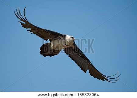 Bearded vulture in flight with blue skies in the background