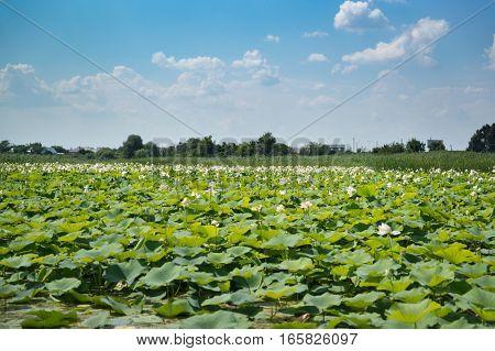 Lake Lotus (lat. Nelumbo nucifera) in the Krasnodar region