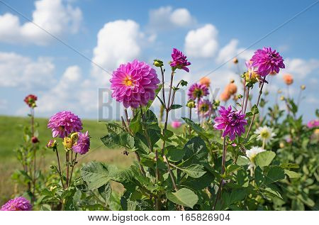 Pink Dahlia Perennial Plant In The Fields