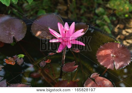 Tropical water Lily (lat. Nymphaea) night-blooming in the morning sun