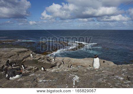 Rockhopper Penguins (Eudyptes chrysocome) on the cliffs of Bleaker Island in the Falkland Islands