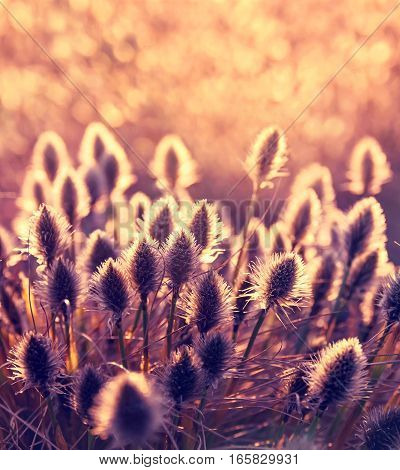 Plant cotton grass (Eriophorum vaginatum). Cotton grass during blooming in early spring at sunset background.