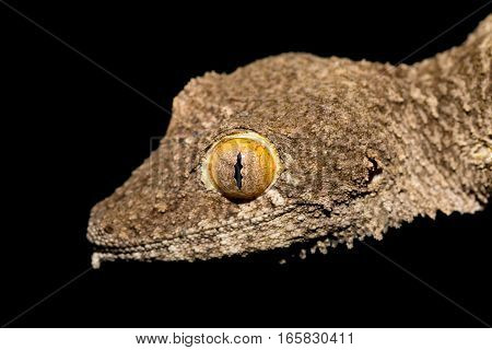 Giant Leaf-tailed Gecko, Uroplatus Fimbriatus, Madagascar
