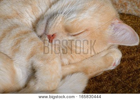 Red cat breeds Scottish-straight sleeping on the couch