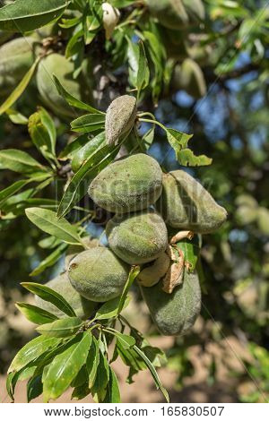 Branch of unripe almonds with their peel, 2 months before being ready for harvest