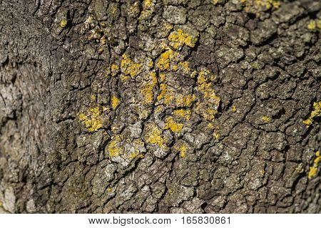 Macro detail of yellowish green Lichen on a tree trunk